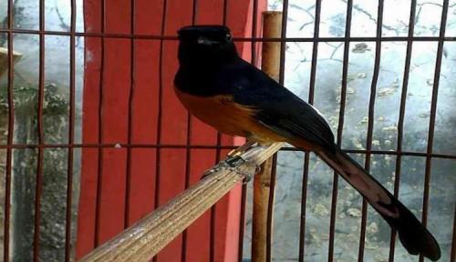 Burung, Murai Batu, Anakan Murai Batu, Vitamin Burung, Ternak Murai Batu Agenda 4
